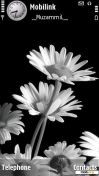 Скриншот к файлу: White Sunflowers